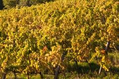 Vineyard chianti. Shine near siena Royalty Free Stock Photos
