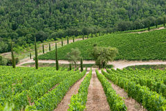 Vineyard in Chianti, Tuscany. Green vineyard in Chianti, Tuscany royalty free stock photos