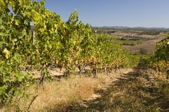 A vineyard in Chianti  Tuscany, Italy Stock Photo