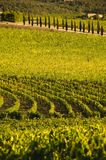 A vineyard in Chianti  Tuscany, Italy Royalty Free Stock Image