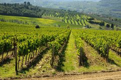 Vineyard in Chianti, Tuscany region stock image