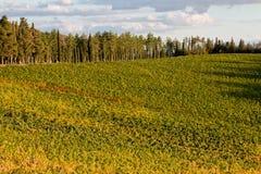 Vineyard chianti. Shine near siena stock photography