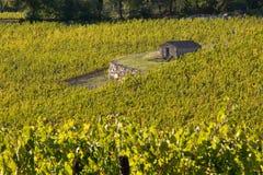 Vineyard chianti. Shine near siena Stock Photo