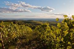 Vineyard chianti. Shine near siena Stock Images