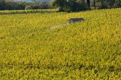 Vineyard chianti. Shine near siena Stock Image