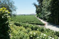 Vineyard in Chile Stock Photo