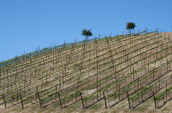 Vineyard on a clear day Royalty Free Stock Photography