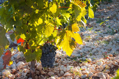 Vineyard close up Royalty Free Stock Photography