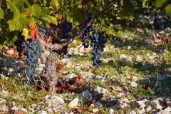 Vineyard close up Royalty Free Stock Images