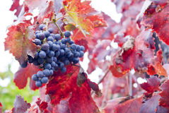 Vineyard. Close-up, selective focus Royalty Free Stock Photo