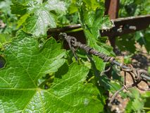 Vineyard closeup, new grapevine leaves. Closeup in a vineyard, new leaves and old vine spiral on wire Stock Image