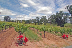 Vineyard and Clouds. Roses and vines in a winery in Amador County, CA, on a cloudy day in April Royalty Free Stock Images