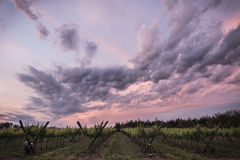 Vineyard and clouds. A vineyard in a rural region with a sunset sky Stock Photography