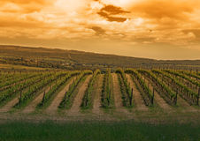 Vineyard and clouds at sunset Royalty Free Stock Photo