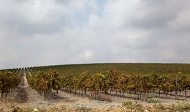 Vineyard and cloudscape Stock Photography