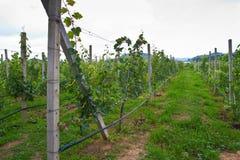 Vineyard on cloudy day Stock Photos