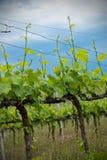Vineyard and Cloudy Sky Stock Photos