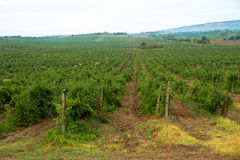 Vineyard cloudy summer morning in Crimea Royalty Free Stock Photos