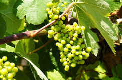 Vineyard with clusters grapes. Stock Image