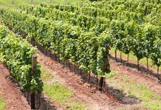 Vineyard with clusters of grapes for the production of red wine Royalty Free Stock Images