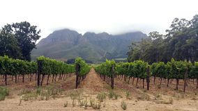 Vineyard. On a cold afternoon, surrounded by forest and mountains Stock Image