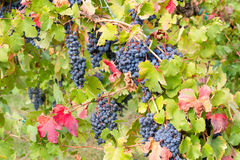 The vineyard is colored Royalty Free Stock Image