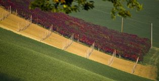 Vineyard colours in autumn Royalty Free Stock Photo