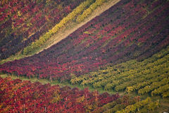 Vineyard colours in autumn. Vineyard of lambrusco wine in italy Stock Images