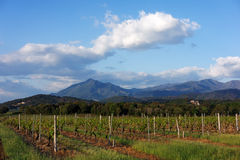 Vineyard in Corsica Royalty Free Stock Image