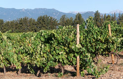 Vineyard in Corsica island Royalty Free Stock Images