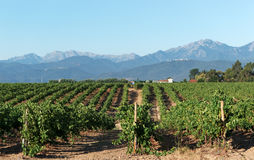 Vineyard in Corsica island Royalty Free Stock Image
