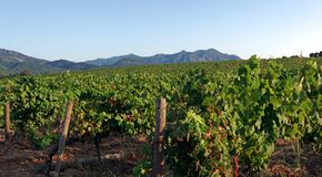 Vineyard in Corsica island. Vineyard in eastern plain of Corsica royalty free stock photo