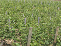 Vineyard in the Cote d'Or Stock Photography