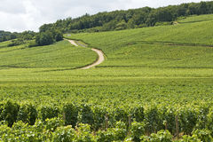 Vineyard in Cote de Nuits. Burgundy. France. Royalty Free Stock Photography