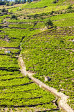 Vineyard on Cote Vermeille. Near Port-Vendres, Languedoc-Roussillon, France Stock Photography