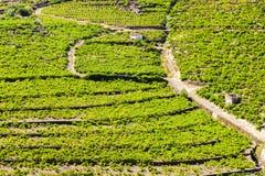 Vineyard on Cote Vermeille Stock Photos