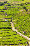 Vineyard on Cote Vermeille Royalty Free Stock Images