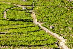 Vineyard on Cote Vermeille Stock Image