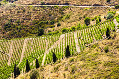 Vineyard on Cote Vermeille Stock Photos