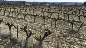 Vineyard Cotes-du-Rhone, France. Royalty Free Stock Images