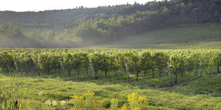 Vineyard in countryside Stock Photos