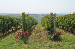 Vineyard and Countryside. Vineyard of red grapes with countryside in background Stock Photo