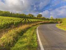 Vineyard countryside in Tuscany, Italy. Curving road in sunny Tuscan countryside with vineyards in the foreground Royalty Free Stock Photo