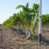 Vineyard in Crimea Royalty Free Stock Images