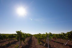 Vineyard in Crimea Stock Photography