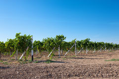 Vineyard in Crimea Royalty Free Stock Photo