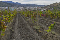 Vineyard in the Crimea. Royalty Free Stock Photo