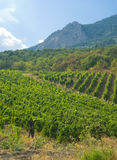 Vineyard in Crimea, Ukraine. Royalty Free Stock Photography