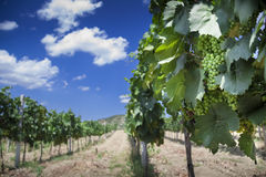 Vineyard in Crimea. (Ukraine) near mountains (polarizer filter Royalty Free Stock Image