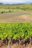 Vineyard in croatia Stock Images